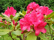 Rododendron / Rhododendron