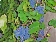 Vindruvor / Grapes