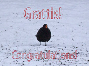 Koltrast Grattis / Blackbird Greetings