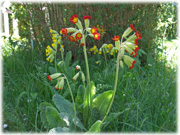 Färgade gullvivor / Colored cowslips