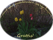 Grattis med tulpaner / Swedish Greetings tulips